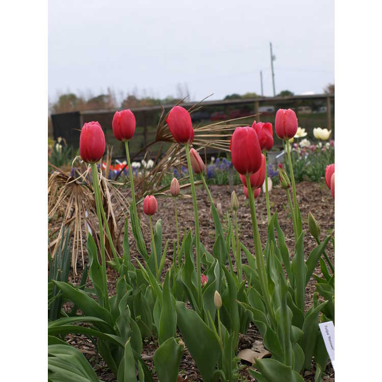 Tulipa Renown