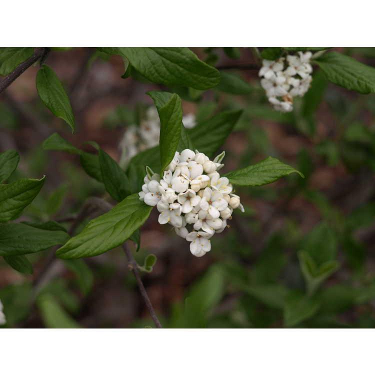 Viburnum Piivib-i Pearlific