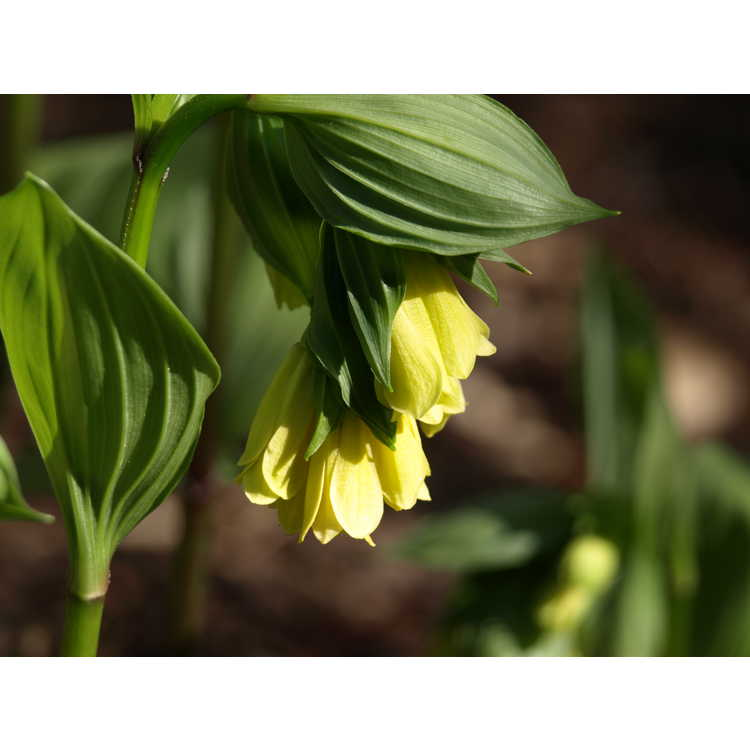 Disporum flavens - fairy bells