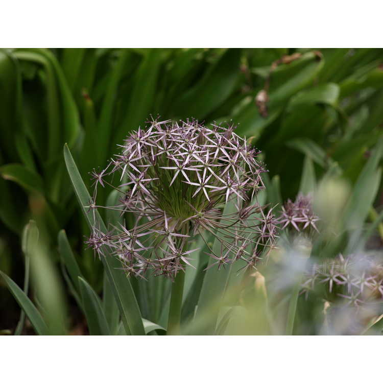 Allium christophii - star of Persia