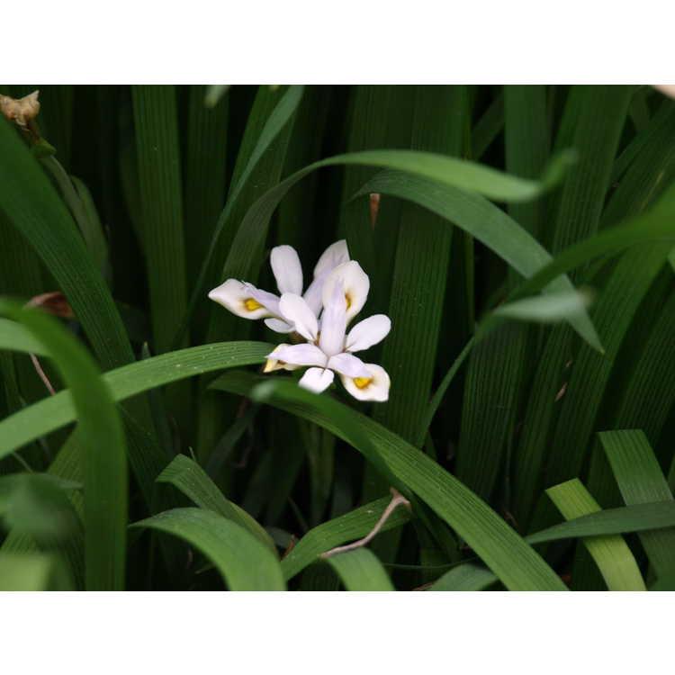 Iris odaesanensis