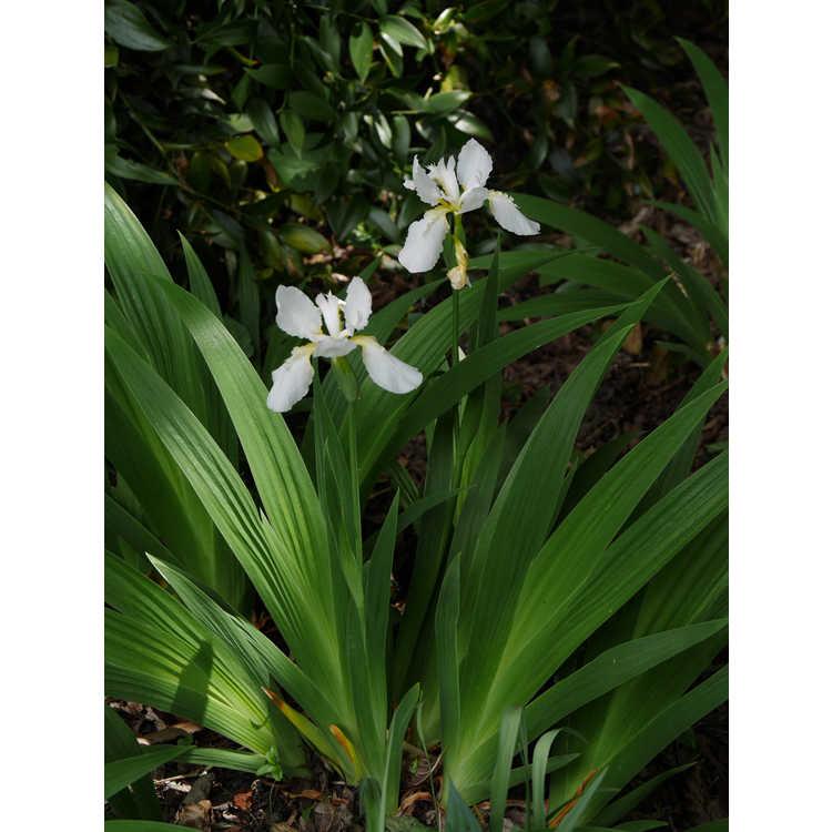 Iris tectorum Alba