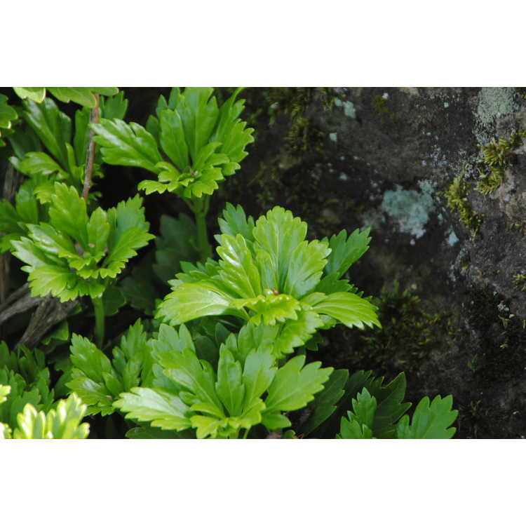 Pachysandra terminalis 'Cutleaf' - cutleaf Japanese pachysandra