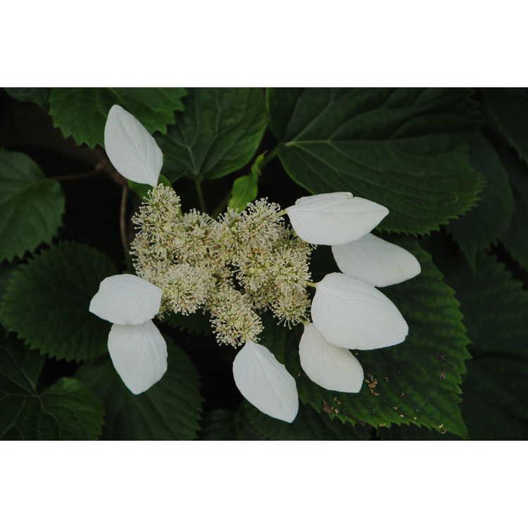 Schizophragma hydrangeoides Strawberry Leaf
