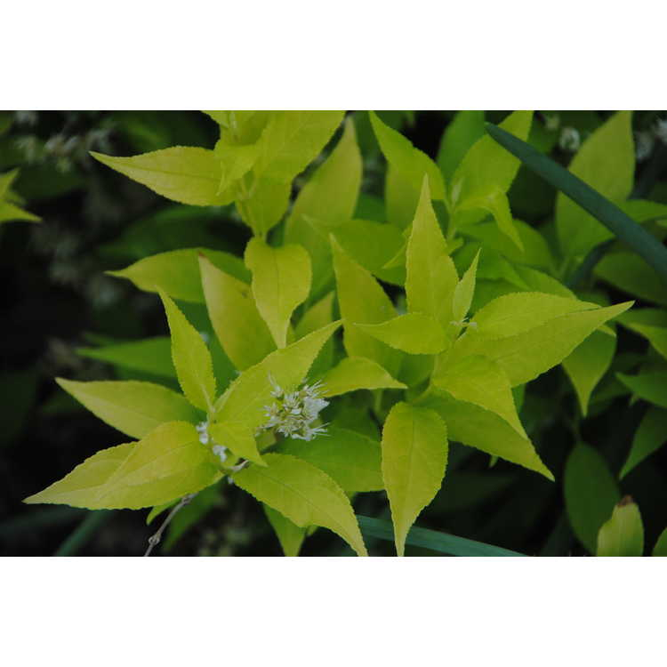 Deutzia gracilis 'Duncan' - Chardonnay Pearls slender deutzia