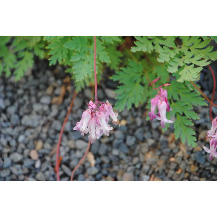 Dicentra eximia 'Dolly Sods'