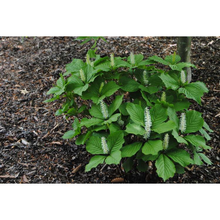 Chloranthus japonicus