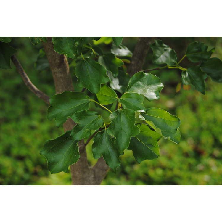 Acer buergerianum var. formosanum
