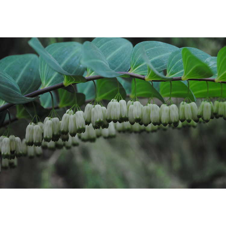 Polygonatum arisanense