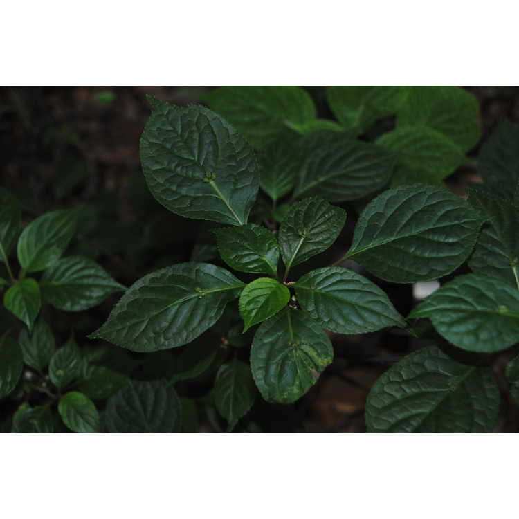 Helwingia chinensis