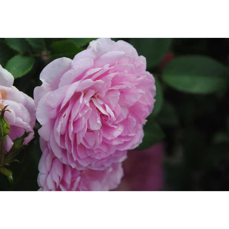 Rosa 'Radprov' - Orchid Romance floribunda rose