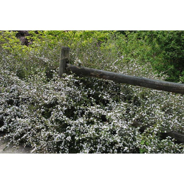 Serissa japonica 'White Swan' - Japanese snow rose