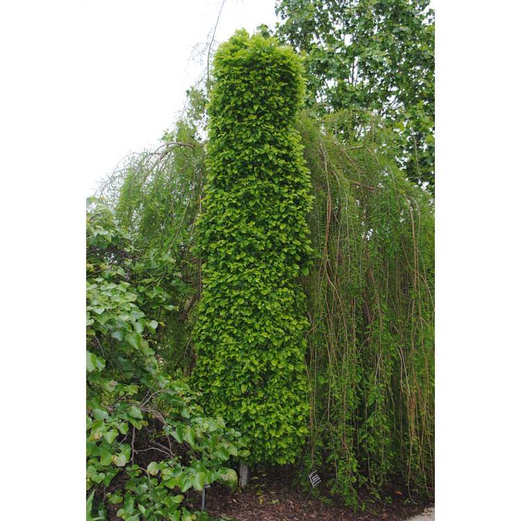 Jc Raulston Arboretum Photographs Carpinus Betulus