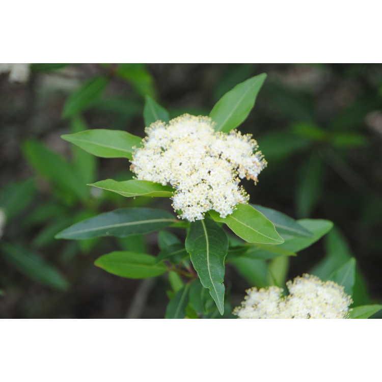 Viburnum nudum 'Angustifolium' - narrowleaf possumhaw viburnum