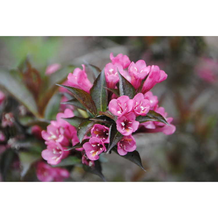 Weigela Bokrashine Shining Sensation
