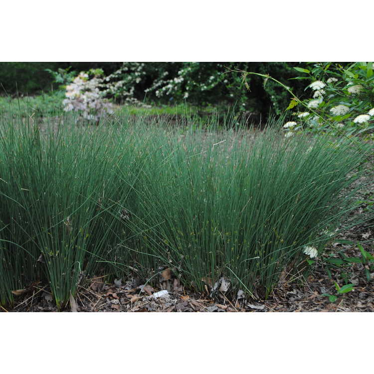 Juncus inflexus 'Blue Arrows' - European meadow rush