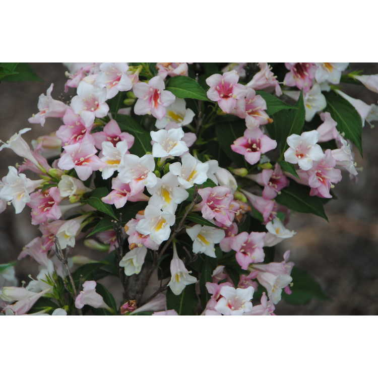 Weigela florida Bokrasopea Sonic Bloom Pearl