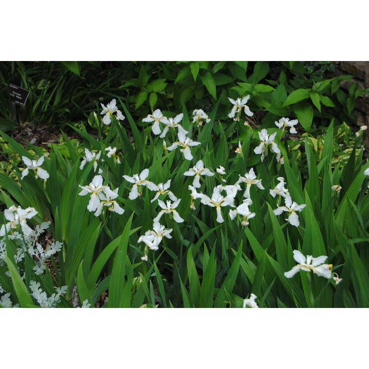 Iris tectorum 'Alba' - Japanese roof iris