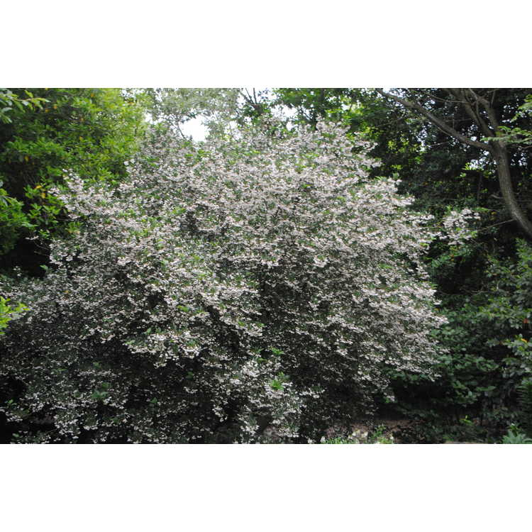 Styrax japonicus Crystal