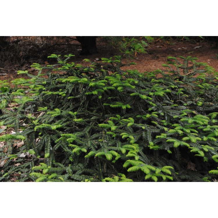 Cephalotaxus harringtonia 'Mary Fleming' - dwarf Japanese plum-yew