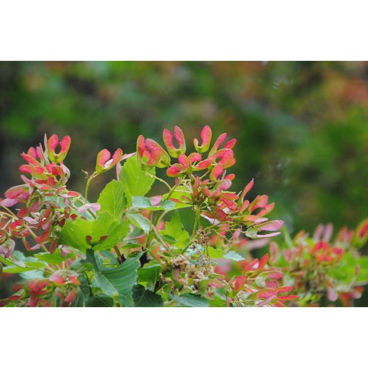 Acer tataricum subsp. ginnala 'Red Wing'