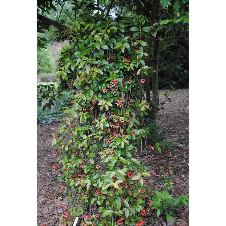 Bignonia capreolata 'Atrosanguinea' - crossvine