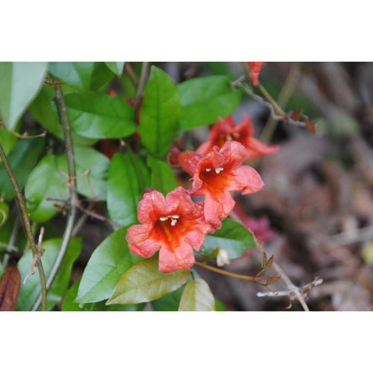 Bignonia capreolata Atrosanguinea