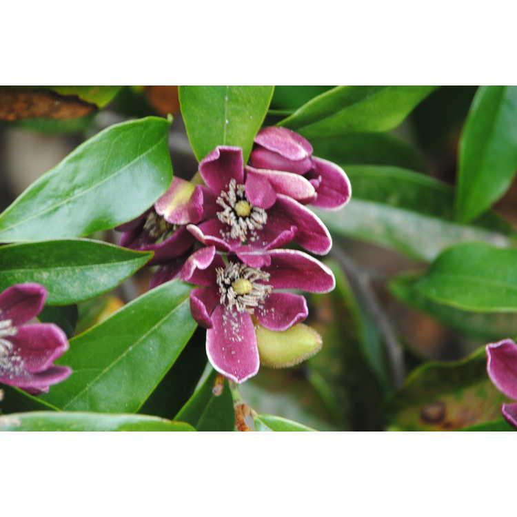 Magnolia figo var. crassipes 'Purple Queen'