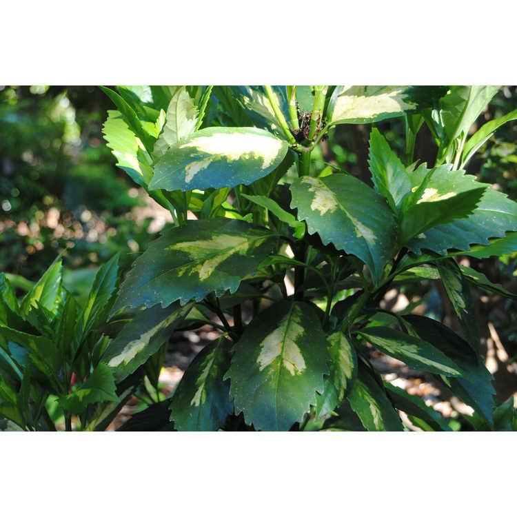 Aucuba japonica 'Shugetsu'