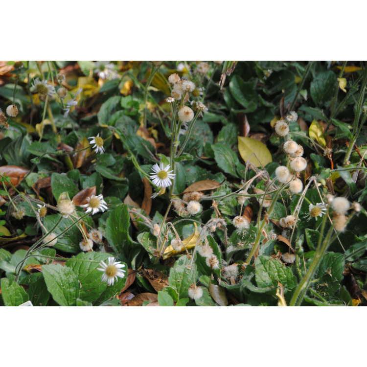 Erigeron pulchellus 'Meadow Muffin'