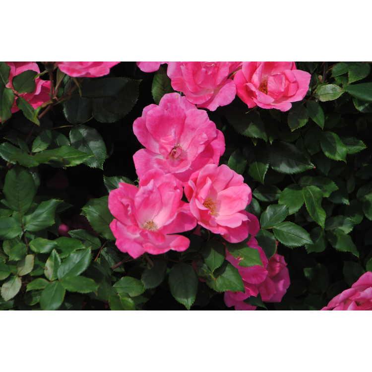 Rosa 'Radcon'
