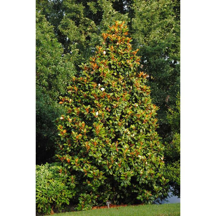 Magnolia grandiflora 'Southern Charm' - Teddy Bear Southern magnolia