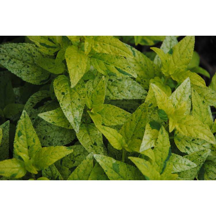 Phygelius 'Lemon Spritzer' - variegated Cape fuchsia