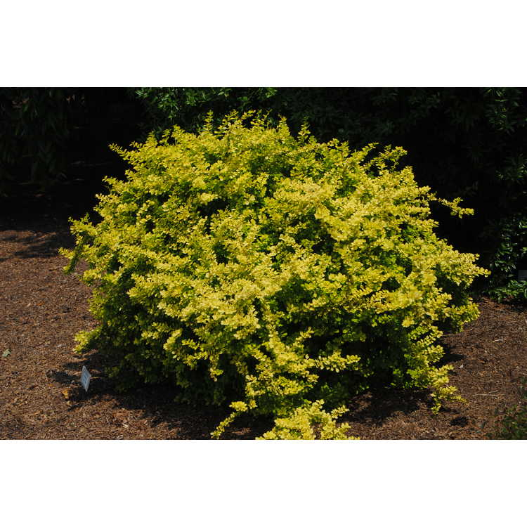 Berberis thunbergii 'Aurea' - golden Japanese barberry