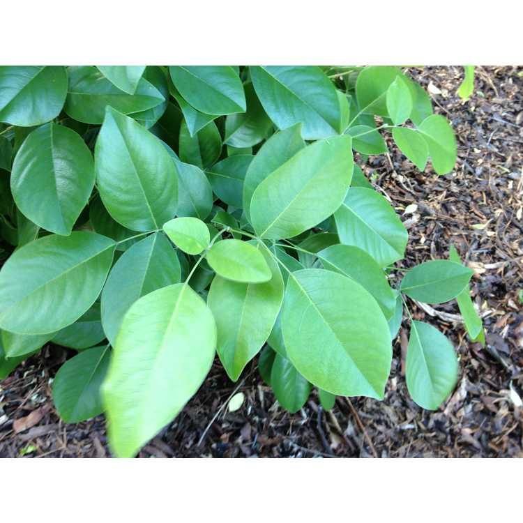 Maackia tenuifolia