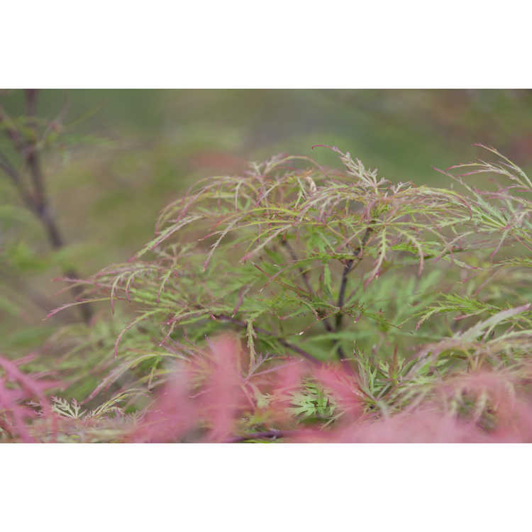 Acer palmatum 'Raraflora'