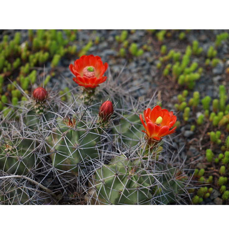 Echinocereus triglochidiatus (Alpine Texas form) - claret cup hedgehog cactus