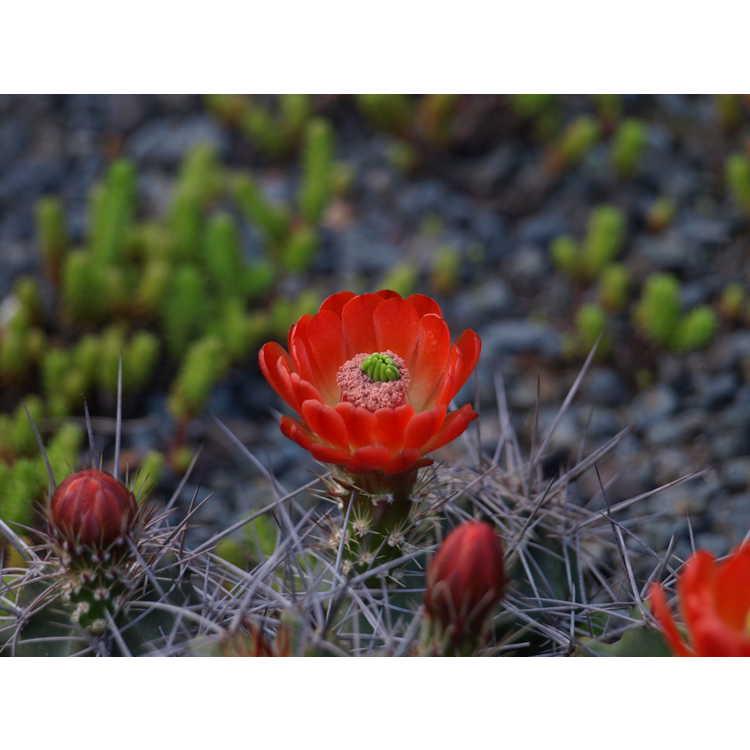Echinocereus triglochidiatus (Alpine Texas form) - claret cup hedgehog cactus