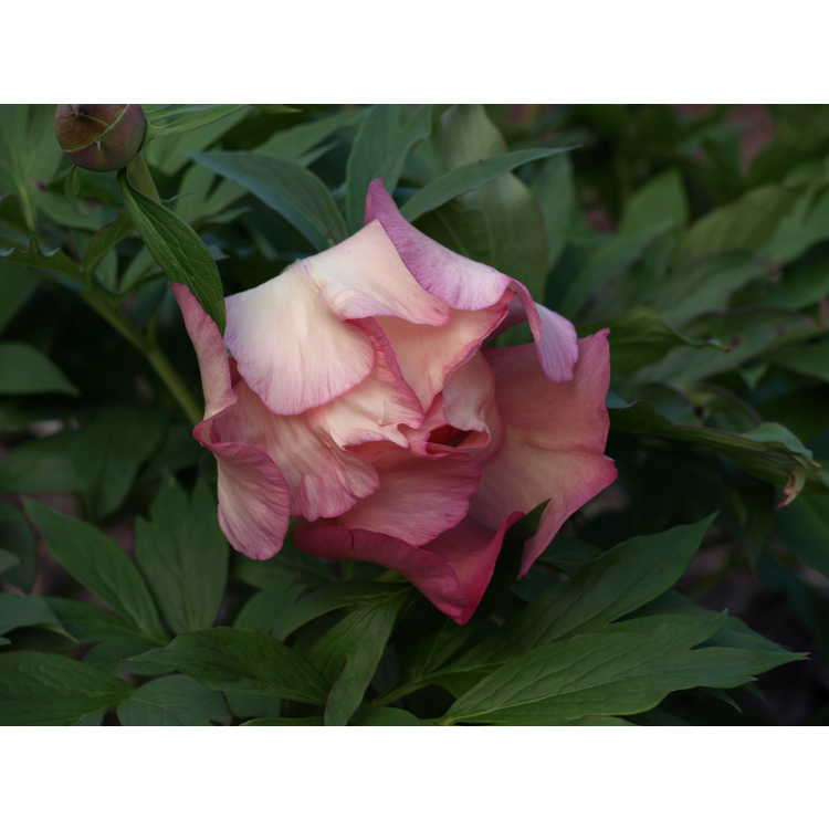 Paeonia 'Smith Opus 2'