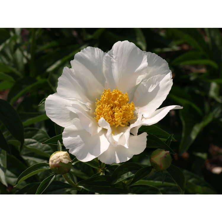 Paeonia 'Krinkled White'