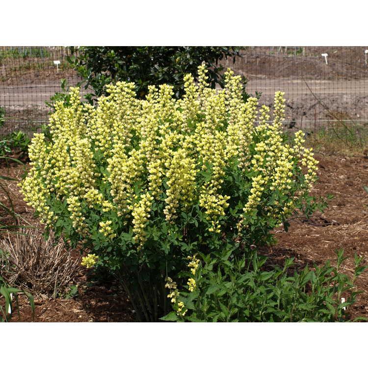 Baptisia 'Lemon Meringue'