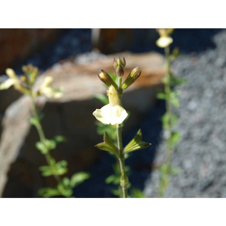Salvia 'Yellow Bird'