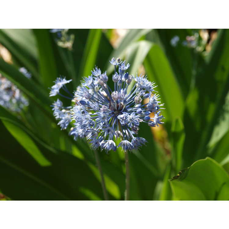 Allium caeruleum - blue globe onion