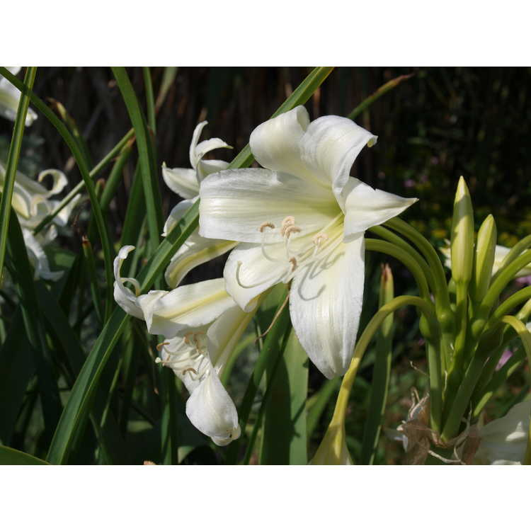 Crinum bulbispermum - South African river lily