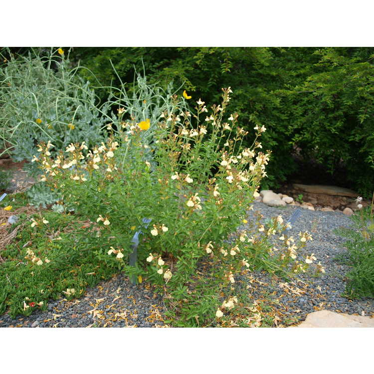 Salvia jamensis Golden Girl
