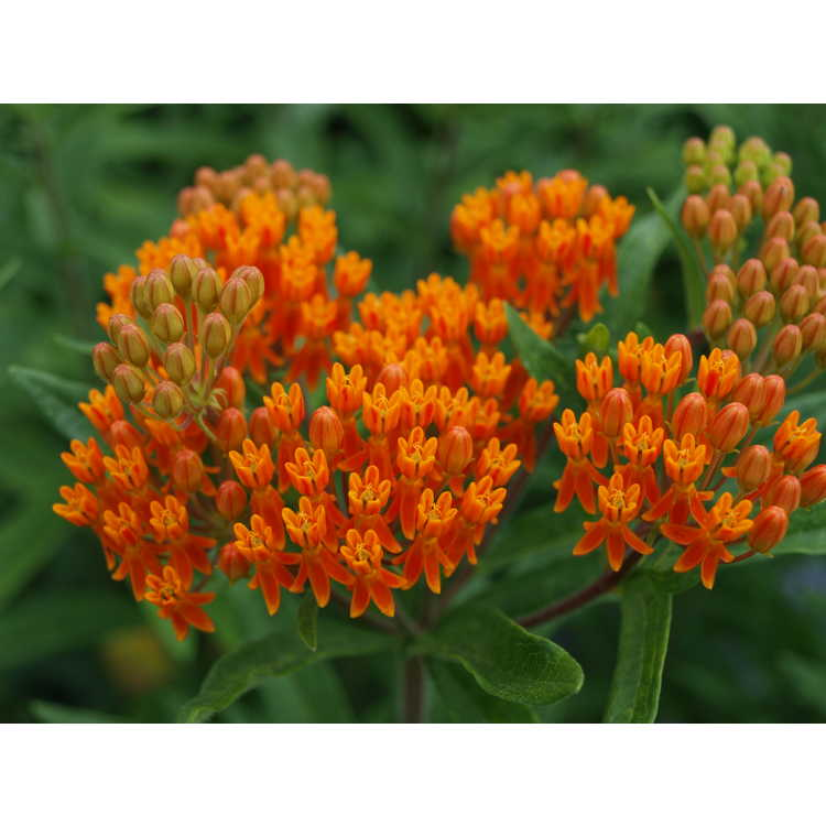 Asclepias tuberosa orange-red