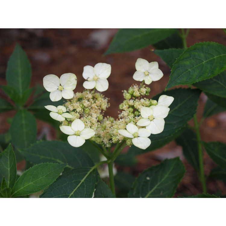 Hydrangea scandens var. chinensis f. angustipetala