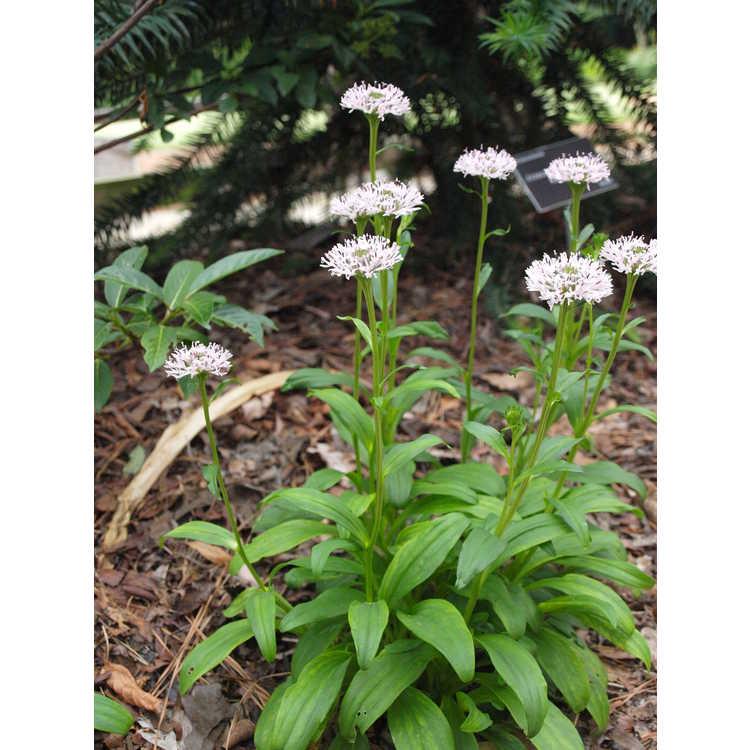 Marshallia grandiflora
