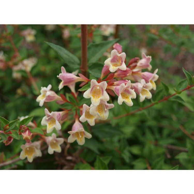 Abelia ×grandiflora 'Minduo1'