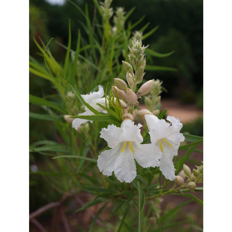 Chilopsis linearis Angel White